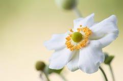 Белый цветок ветреницы Стоковые Изображения RF