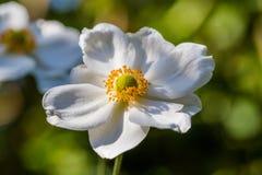 Белый цветок ветреницы стоковое фото