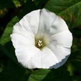 Белый цветок вьюнка ипомея Стоковое фото RF