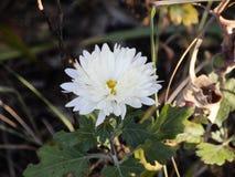 Белый цветок георгина в лесе стоковые изображения rf
