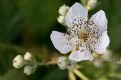 Белый цветок ежевики Стоковое Изображение RF
