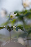 Белый цветок деревянной ветреницы Стоковые Фотографии RF