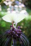 Белый цветок летучей мыши Стоковые Изображения RF