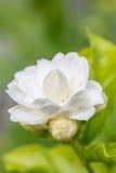 Белый цветок, жасмин (sambac l Jasminum ), то Стоковая Фотография RF