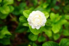 Белый цветок, жасмин (sambac l Jasminum ), то Стоковые Изображения