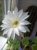 Белый цветок кактуса бака, золотой факел стоковое фото rf