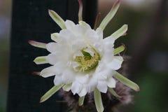 Белый цветок кактуса Стоковое Изображение RF