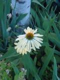 Белый цветок конуса лебедя Стоковое Изображение RF