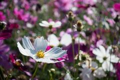 Белый цветок космоса в саде Стоковые Фотографии RF
