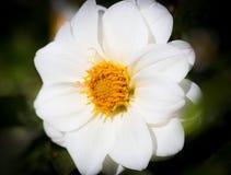 Белый цветок космоса. Стоковое Фото