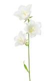 Белый цветок колокольчика Стоковые Фото