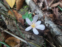 Белый цветок крокуса в лесе осени Стоковое Фото