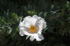 Белый цветок мака Matilija, завод засухи веротерпимый родной, внешний крупный план с предпосылкой опознаваемых листьев Стоковые Фото