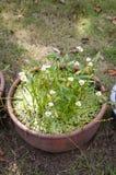 Белый цветок наконечника стрелы стоковое фото