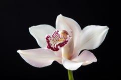 Белый цветок орхидеи на изолированной черной предпосылке стоковые фотографии rf