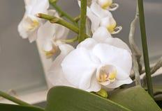 Белый цветок орхидеи Doritaenopsis Стоковая Фотография RF