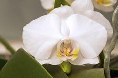 Белый цветок орхидеи Doritaenopsis Стоковое Изображение RF
