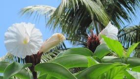 Белый цветок острова стоковое фото rf