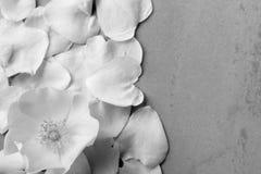 Белый цветок одичалый поднял на предпосылку упаденных лепестков Стоковое Изображение