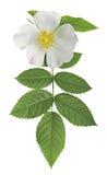 Белый цветок одичалый поднял стоковая фотография