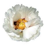 Белый цветок пиона Стоковые Фото
