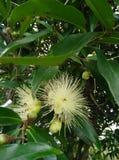 Белый цветок плодоовощ Стоковые Фотографии RF