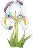 Белый цветок радужки Стоковая Фотография RF