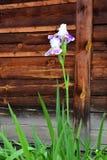 Белый цветок радужки Стоковые Изображения