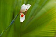 Белый цветок радужки Стоковое Изображение