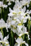 Белый цветок радужки Стоковое Фото