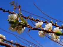 Белый цветок Сакуры Стоковая Фотография RF