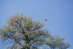 Белый цветок Сакуры blossoming как естественная предпосылка на запачканном фоне Стоковые Изображения RF