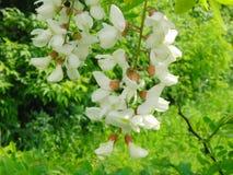Белый цветок саранчи Стоковая Фотография
