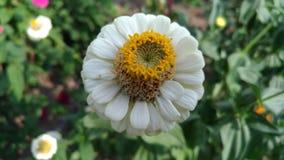 Белый цветок с желтыми тычинками стоковые изображения rf