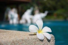 Белый цветок с желтым центром на камне Стоковые Изображения RF