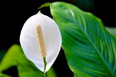 Белый цветок с длинной белой тычинкой Стоковые Фотографии RF