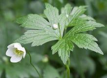 Белый цветок с листьями Стоковые Изображения RF