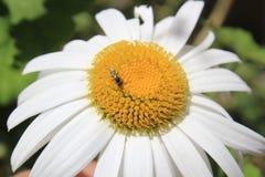 Белый цветок с пчелой Стоковое фото RF