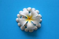 Белый цветок с seashells на голубой предпосылке Стоковые Фотографии RF