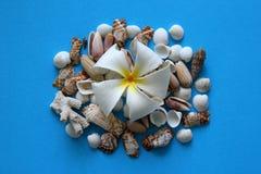 Белый цветок с seashells на голубой предпосылке Стоковая Фотография