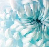 Белый цветок хризантемы бирюзы closeup Макрос Стоковые Изображения