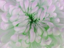 Белый цветок хризантемы closeup Макрос Стоковое Изображение