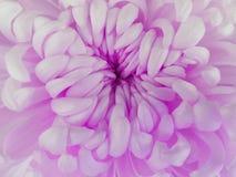Белый цветок хризантемы closeup Макрос Стоковое фото RF