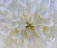 Белый цветок хризантемы closeup Макрос Стоковая Фотография