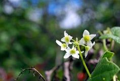 Белый цветок дыни стоковое изображение rf