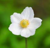 Белый цветок Стоковые Изображения RF