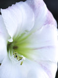 Белый цветок Стоковое фото RF