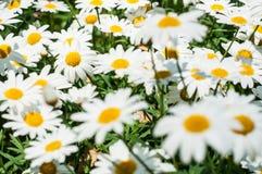 Белый цветок Стоковая Фотография
