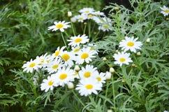 Белый цветок Стоковые Изображения