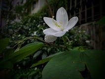 Белый цветок 02 Стоковое Изображение RF